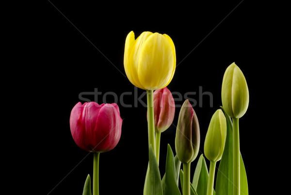Tulpen verschillend zwarte bloem voorjaar Stockfoto © Gordo25