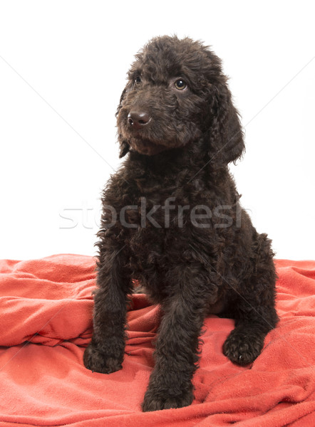 Alert Brown Labradoodle Stock photo © Gordo25