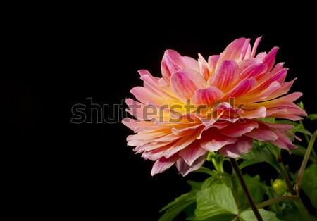 Dalya çiçek seçici odak çiçek çiçekler bitki Stok fotoğraf © Gordo25
