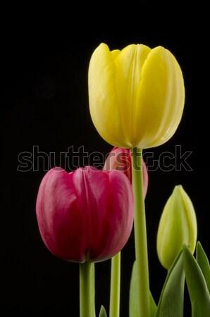 Focus Rood tulp selectieve aandacht voorgrond ander Stockfoto © Gordo25