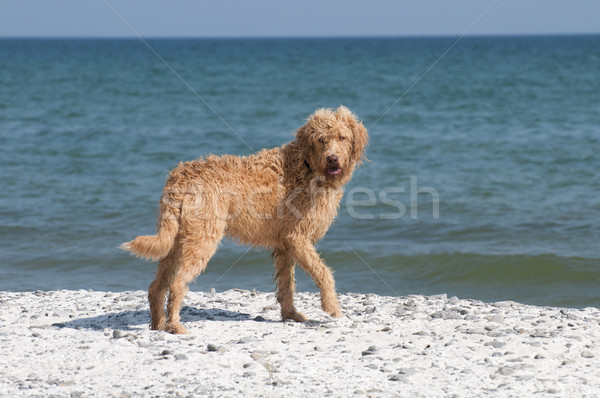 Labradoodle Looks Back Stock photo © Gordo25