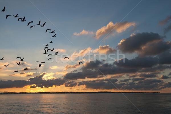 Gansos pôr do sol voador olhando aterrissagem árvore Foto stock © Gordo25