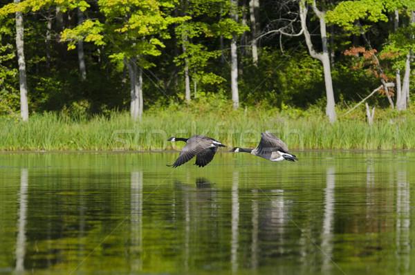 Two Geese Flying on the Lake Stock photo © Gordo25