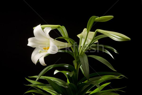 Páscoa lírio planta isolado preto natureza Foto stock © Gordo25