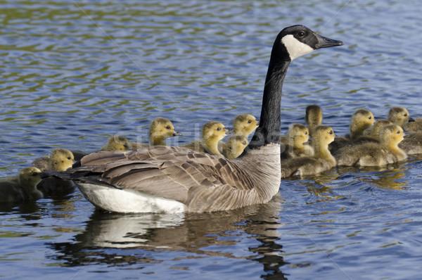 Kaz düzine genç aile anne kuşlar Stok fotoğraf © Gordo25