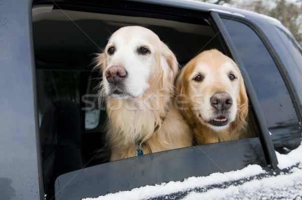 Golden retriever carro dourado ar fresco aventura Foto stock © Gordo25