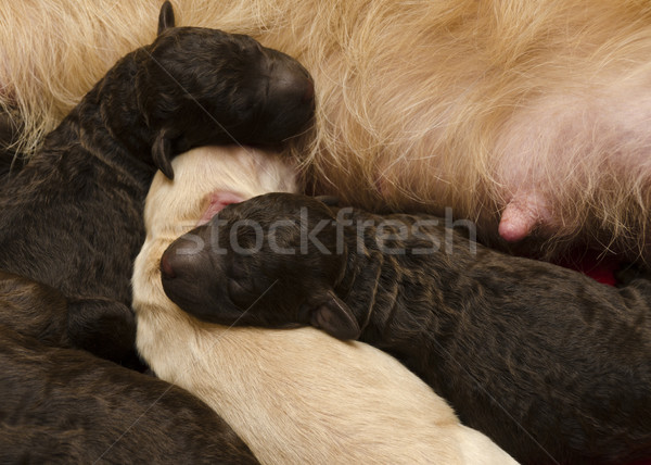 Pups Feeding and Sleeping Stock photo © Gordo25