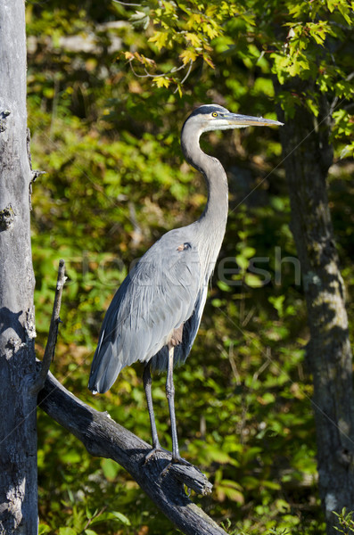 Heron Standing on a Dead Branch Stock photo © Gordo25