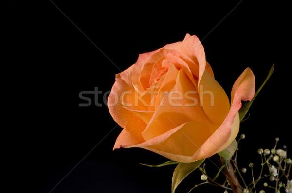 バラ 黒 オレンジ 愛 光 デザイン ストックフォト © Gordo25