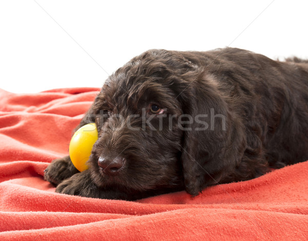 Closeup of a Brown Labradoodle Stock photo © Gordo25
