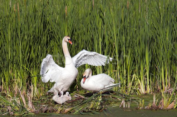 Volwassen jonge mannelijke zwaan vleugels vrouwelijke Stockfoto © Gordo25