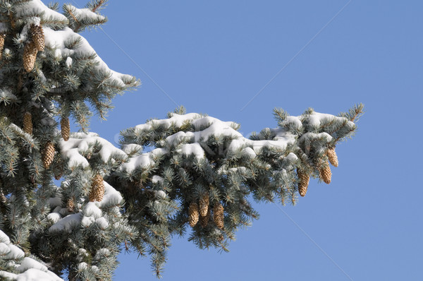 Sosny śniegu Błękitne niebo dobre kopia przestrzeń Zdjęcia stock © Gordo25