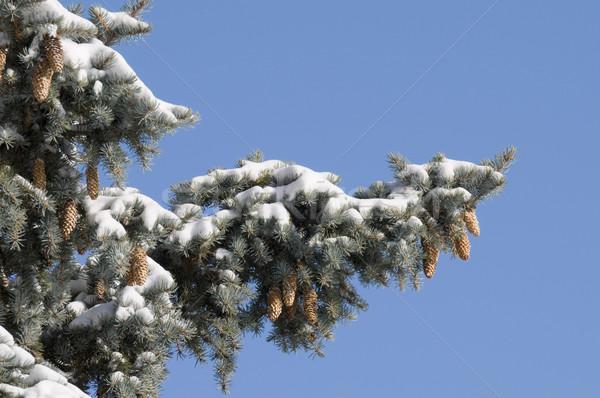 Pine Branches with Snow Stock photo © Gordo25
