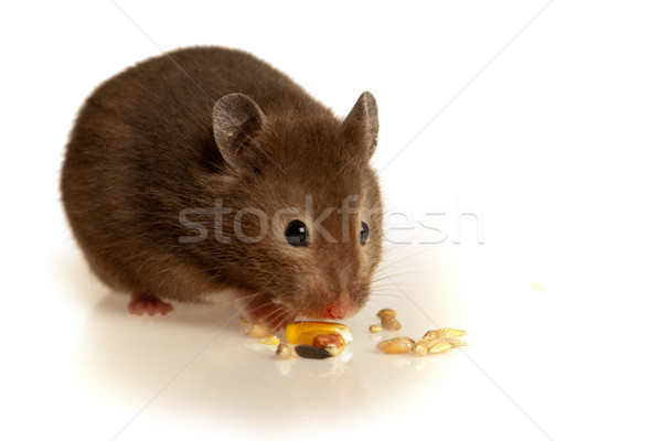 Mouse eating in studio Stock photo © gorgev