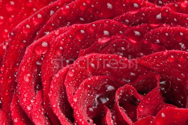 Scarlet rose closeup Stock photo © gorgev