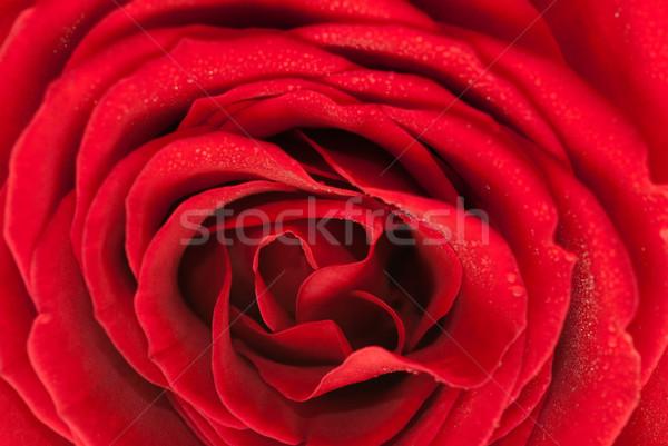 Rózsa textúra piros virágzó közelkép virág Stock fotó © gorgev