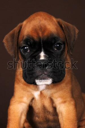 Cute puppy boxer looks a sad sight Stock photo © goroshnikova
