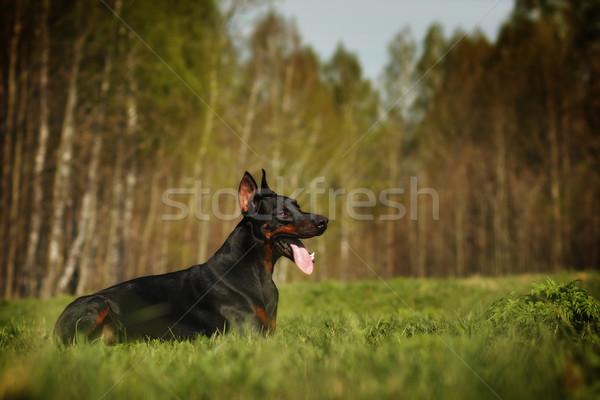 красивой собака доберман лет Ложь природы Сток-фото © goroshnikova