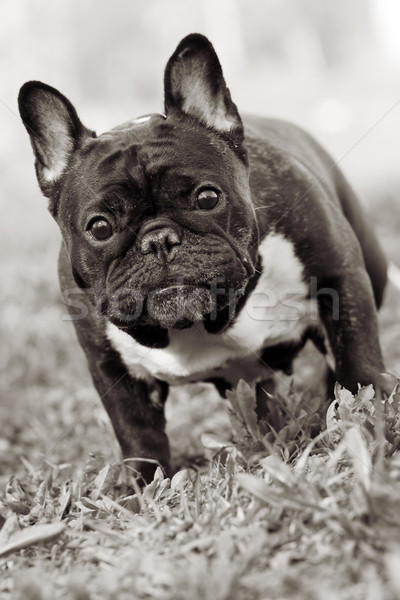 dog French bulldog standing and looking questioningly Stock photo © goroshnikova