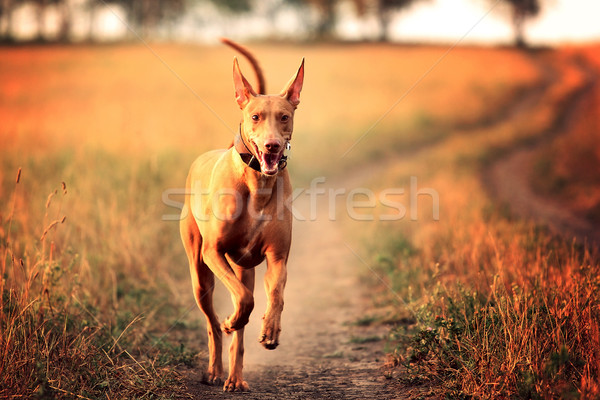 dog breed Pharaoh hound running  Stock photo © goroshnikova