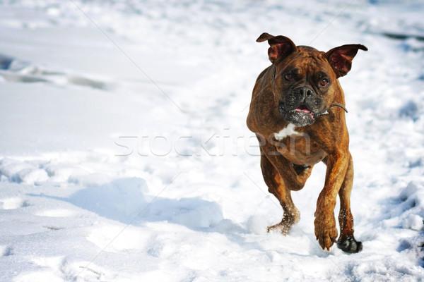 Dog brindle boxer running in the winter in the snow, fun games d Stock photo © goroshnikova