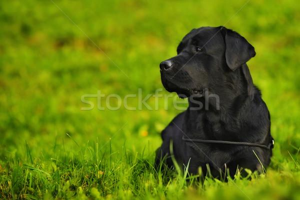 Лабрадор ретривер ярко зеленая трава собака черный Сток-фото © goroshnikova