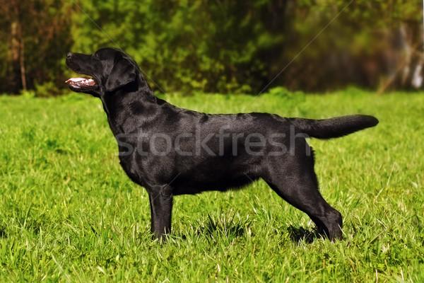 Labrador retriever áll előadás pozició gyönyörű fekete Stock fotó © goroshnikova