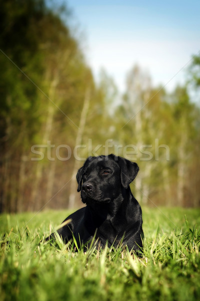 Sério preto labrador grama cão Foto stock © goroshnikova
