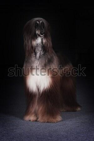 beautiful dog, the Afghan Stock photo © goroshnikova