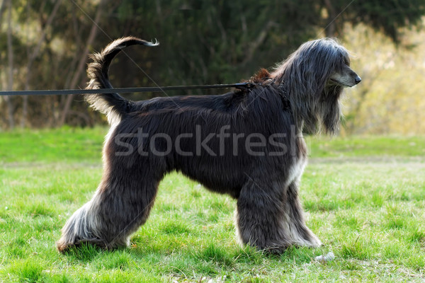 Stock photo: beautiful dog breed Afghan is on the leash