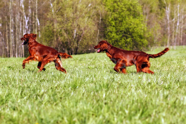 two Irish setter play Stock photo © goroshnikova