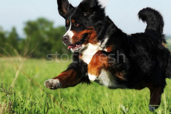 Piękna szczęśliwy berneński pies pasterski skoki lata Zdjęcia stock © goroshnikova