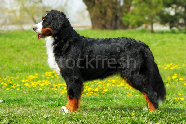 purebred dog Bernese mountain dog standing in show position in t Stock photo © goroshnikova