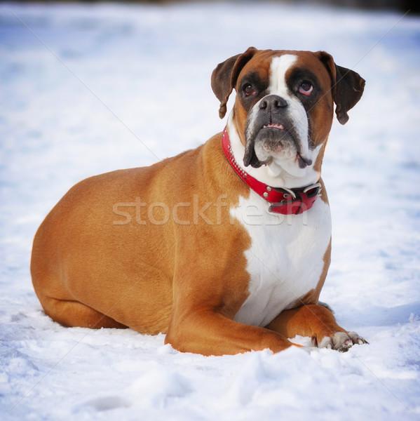 Rood hondenras bokser tanden winter Stockfoto © goroshnikova