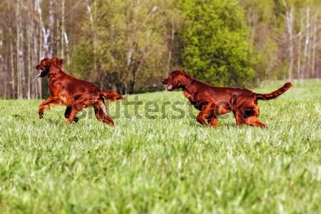 Stock photo: happy dog Irish setter jumping