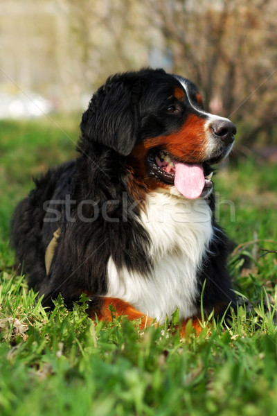 Stock photo: beautiful happy Bernese mountain dog