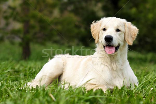 happy puppy Golden Retriever Stock photo © goroshnikova