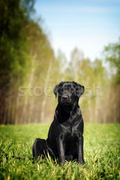 Komoly fekete labrador ül fű kutyakölyök Stock fotó © goroshnikova