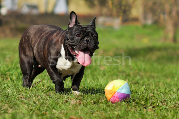 happy dog French bulldog plays with ball  Stock photo © goroshnikova