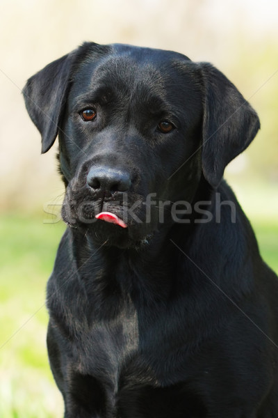 black Labrador dog licks lips Stock photo © goroshnikova