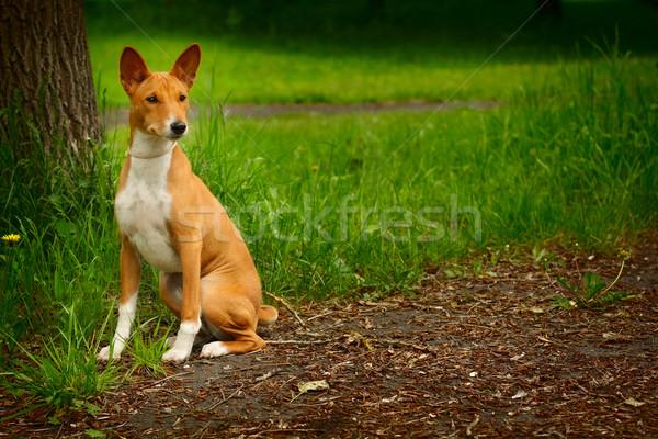 purebred Basenji dog walking Stock photo © goroshnikova