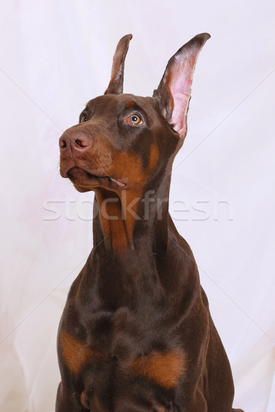 Retrato chocolate doberman marrom cachorro Foto stock © goroshnikova