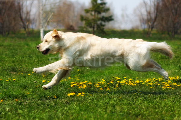Gelukkig hond golden retriever jonge vreugde Stockfoto © goroshnikova