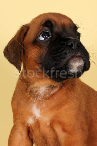 red puppy boxer fearfully looking up Stock photo © goroshnikova