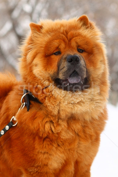 Chow-chow in the winter Stock photo © goroshnikova