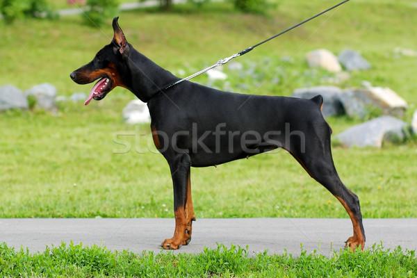Zwarte hond doberman werk honden dienst Stockfoto © goroshnikova