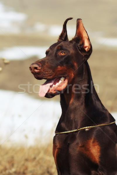 brown Doberman dog champion  Stock photo © goroshnikova