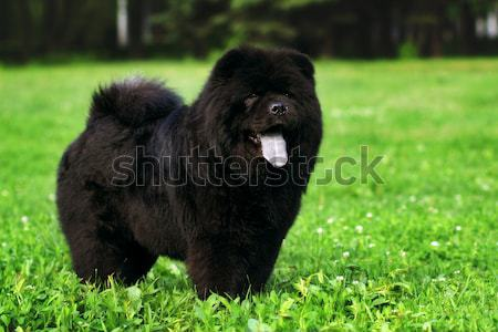 Stock photo: fluffy dog breeds Chow Chow black walks in the summer.