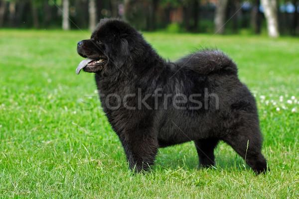 beautiful dog breed Chow Chow rare black color is to show the po Stock photo © goroshnikova