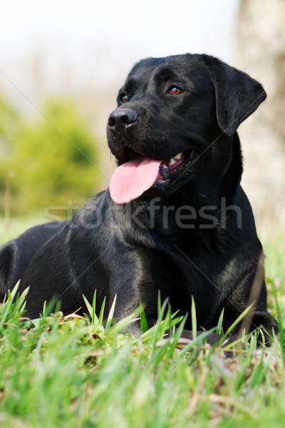 красивой Лабрадор черный трава языком подвесной Сток-фото © goroshnikova